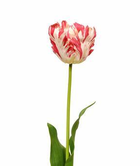 Fiore artificiale Tulipano rosso-bianco 70 cm