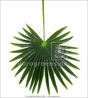 Palma da foglia artificiale Livistona 90 cm