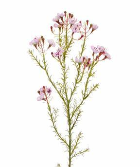 Ramo artificiale Chamelaucium uncinatum rosa 65 cm